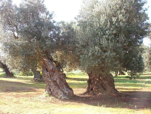 Piante di ulivo secolari e tutto ci che riguarda il legno for Vendita piante ulivo